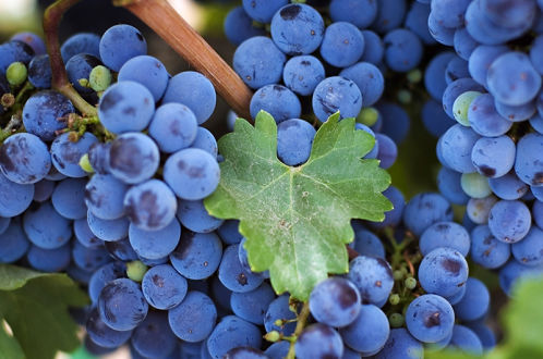Простые рецепты домашних вин из винограда
