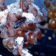 Ледяное вино из замороженного винограда