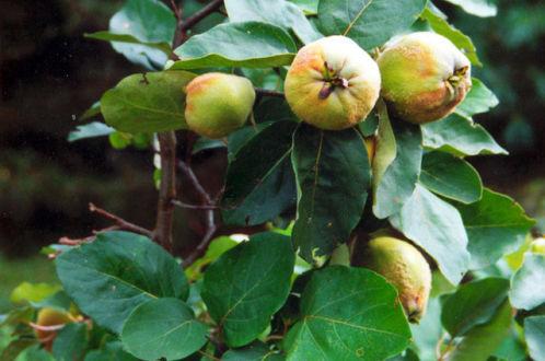 Приготовление в домашних условиях ликера из плодов айвы японской