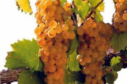 Пошаговое приготовление вина из винограда мускатных сортов