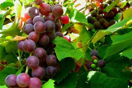 Приготовление в домашних условиях вина из розового винограда