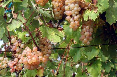 Винные сорта винограда для приготовления домашнего вина