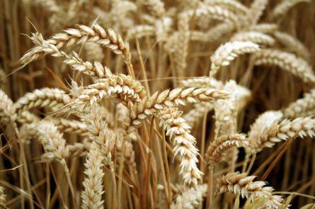 Изготовление пшеничного самогона в домашних условиях