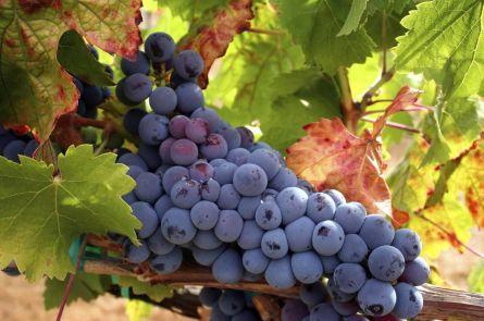 Получение вина из амурского винограда