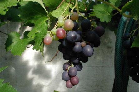 Приготовление вина из дикого винограда в домашних условиях