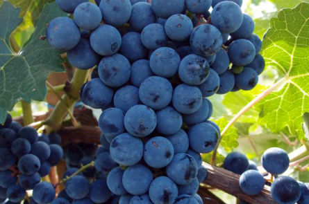 Как приготовить вино из синих сортов винограда в домашних условиях