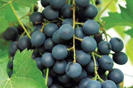 Приготовление вина из кислых сортов винограда
