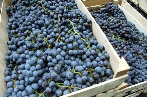 Домашнее вино из винограда сорта Молдова