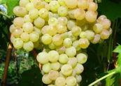 Готовим вино из винограда и изюма кишмиш в домашних условиях