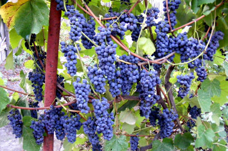 Готовим изысканное домашнее вино из винограда Кудрик