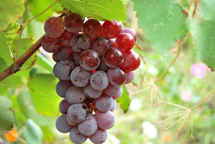 Виноград для розового вина