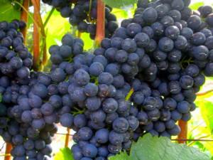 Вкусное вино можно приготовить используя виноград кислых сортов