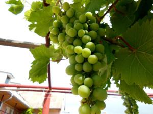 Универсальный метод по приготовлению алкогольного напитка из винограда в домашних условиях