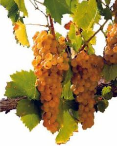 Вино из мускатных сортов