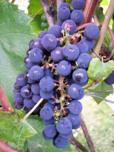 Предназначенный для виноделия, технический сорт винограда кудрик