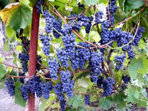 Сорт винограда кудрик