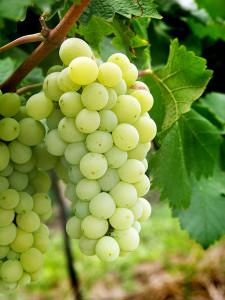 Виноград из средней полосы России