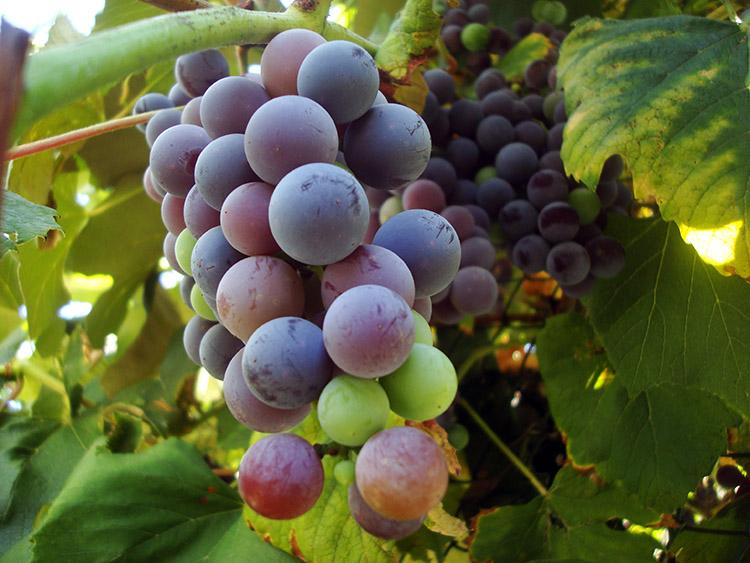 Красные и синие виноградные ягоды