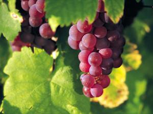 Виноград сорта Гренаш