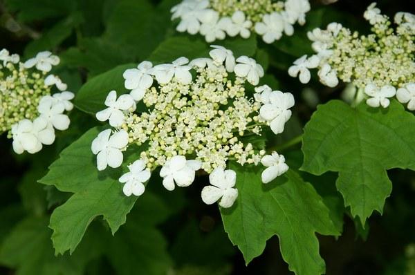 настойка из цветков калины