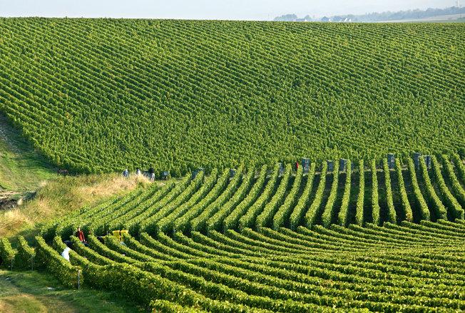 виноградники шампань